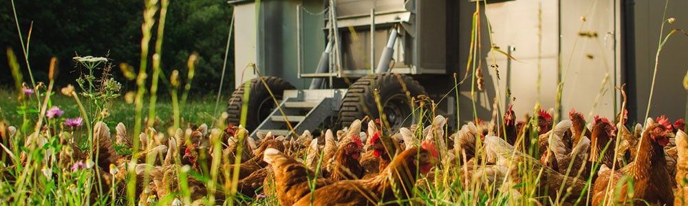 Wenn Hühner wandern und Datenaustausch über einer integrierten EDI-Schnittstelle läuft.